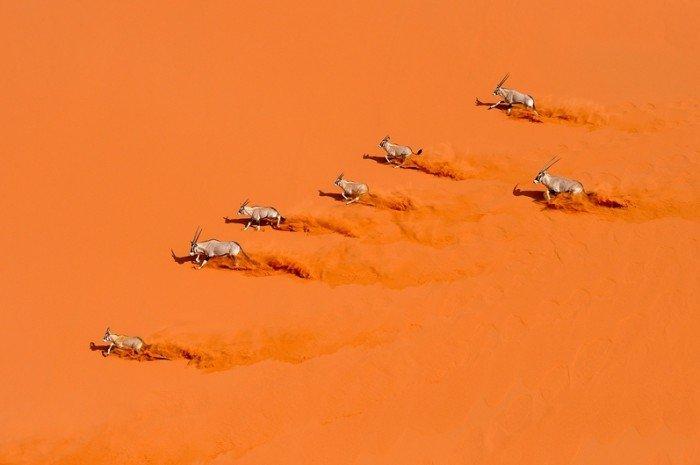 Тваринний світ Сахари(Африка) - орікси
