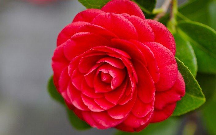 Красная камелия – самый редкий цветок в мире