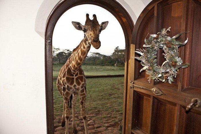 Жирафы Ротшильда, отель Giraffe Manor в Найроби (Кения) - фото 2