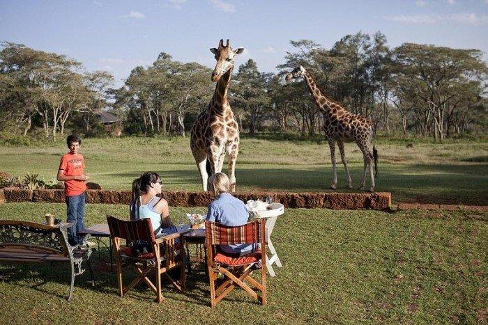 Жирафы Ротшильда, отель Giraffe Manor в Найроби (Кения) - фото 4