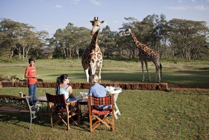 Жирафи Ротшильда, готель Giraffe Manor в Найробі (Кенія) - фото 4