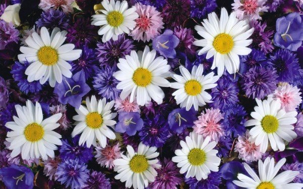 Растения цветы ромашки