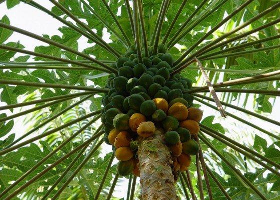 Где растут манго