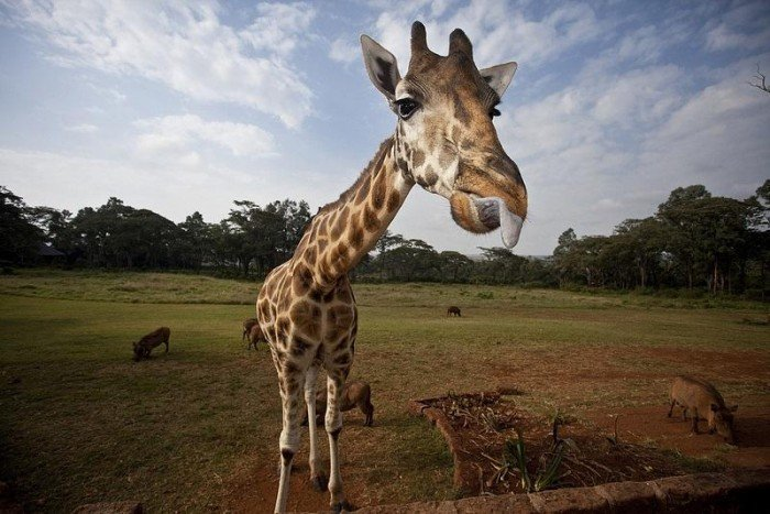 Жирафы Ротшильда, отель Giraffe Manor в Найроби (Кения) - фото 7