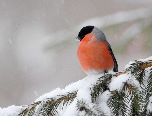 Зимові птахи України