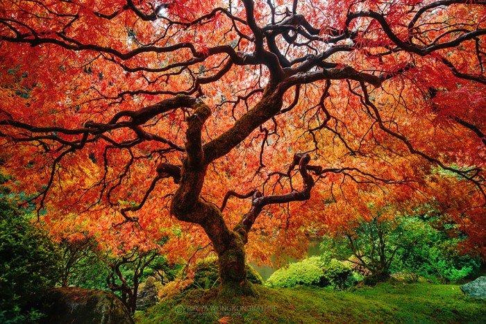 Осенний пейзаж. Японський дланевидний клен осенью