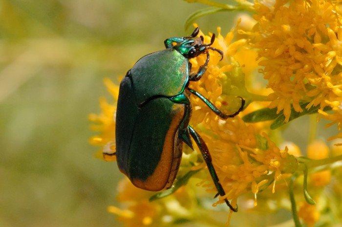 Чарльз Дарвин – коллекционирование жуков