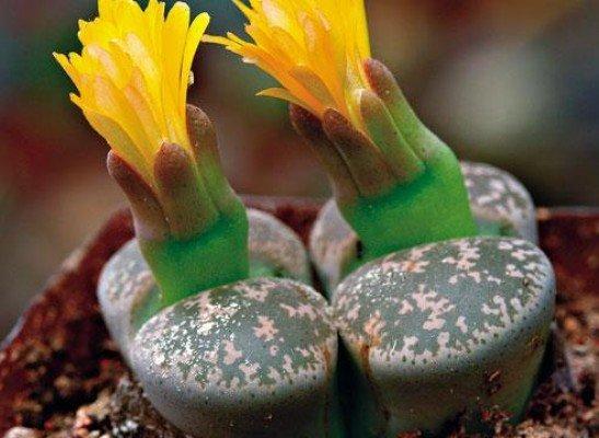 Фото живые камни цветок