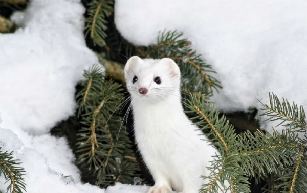 Які тварини змінюють колір шерсті на зиму?