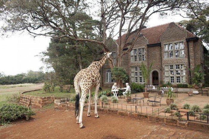 Жирафы Ротшильда, отель Giraffe Manor в Найроби (Кения) - фото 11