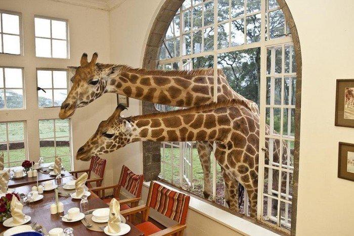 Жирафы Ротшильда, отель Giraffe Manor в Найроби (Кения) - фото 5