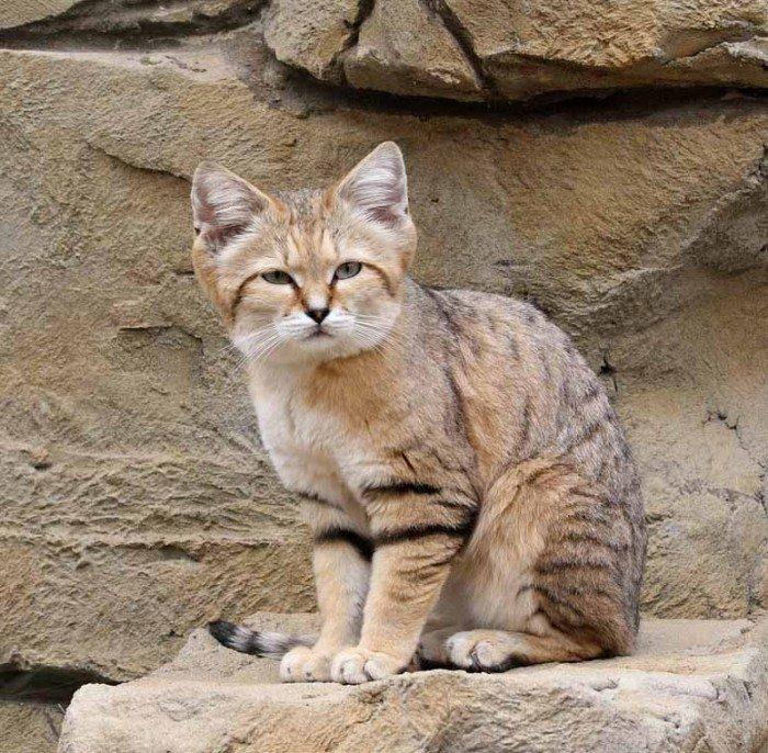 Животный мир Сахары - песчаный кот