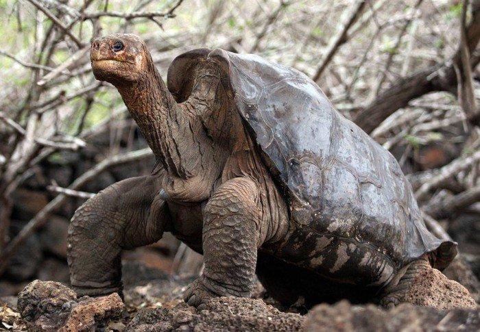 Всемирное наследие ЮНЕСКО, фото - гигантская черепаха Одинокий Джордж