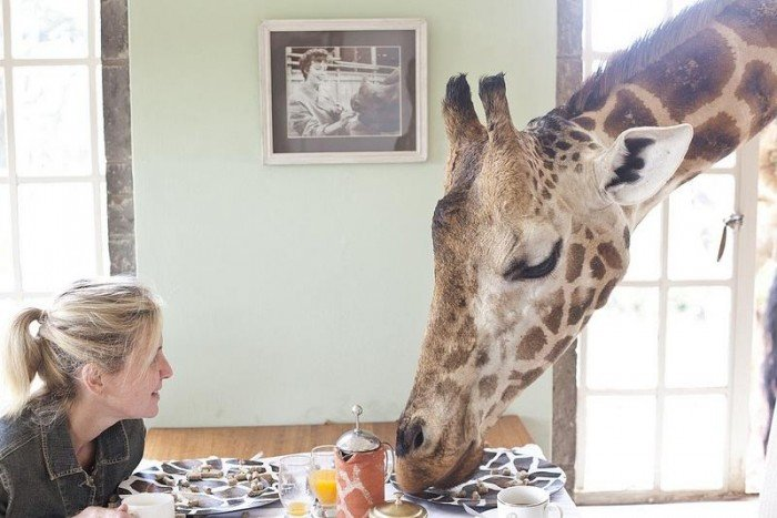 Жирафы Ротшильда, отель Giraffe Manor в Найроби (Кения) - фото 10