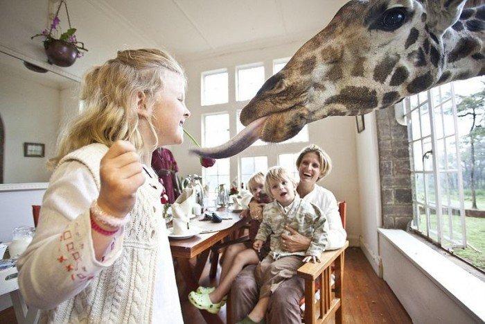 Жирафы Ротшильда, отель Giraffe Manor в Найроби (Кения) - фото 1