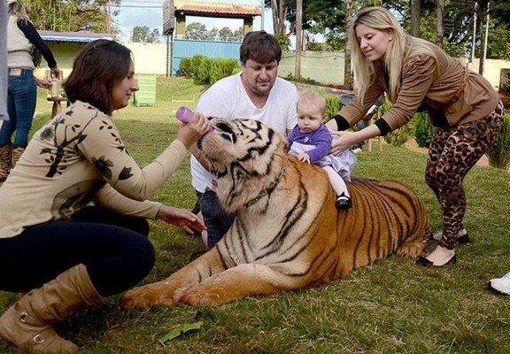 Тигриный член