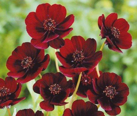 Космея шоколадная - садовые цветы, клумбы и цветники своими