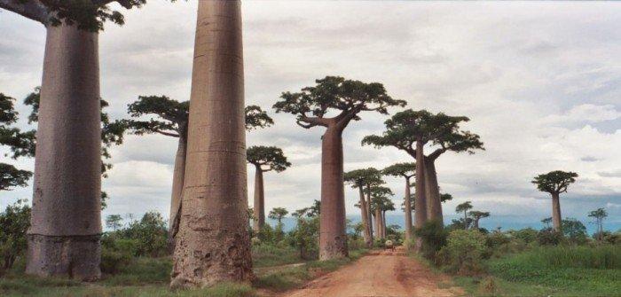 Найкрасивіші дороги світу - Алея Баобабів, Мадагаскар