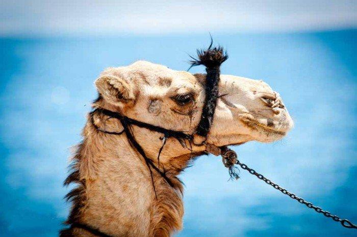 Животный мир Сахары - верблюд