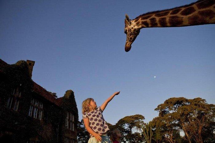 Жирафы Ротшильда, отель Giraffe Manor в Найроби (Кения) - фото 8