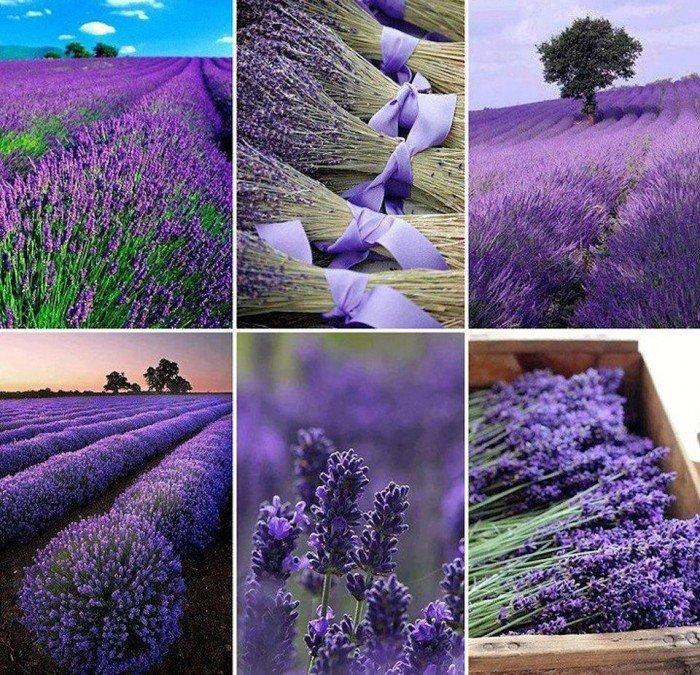 Найкрасивіші місця на Землі - Поля лаванди, Франція