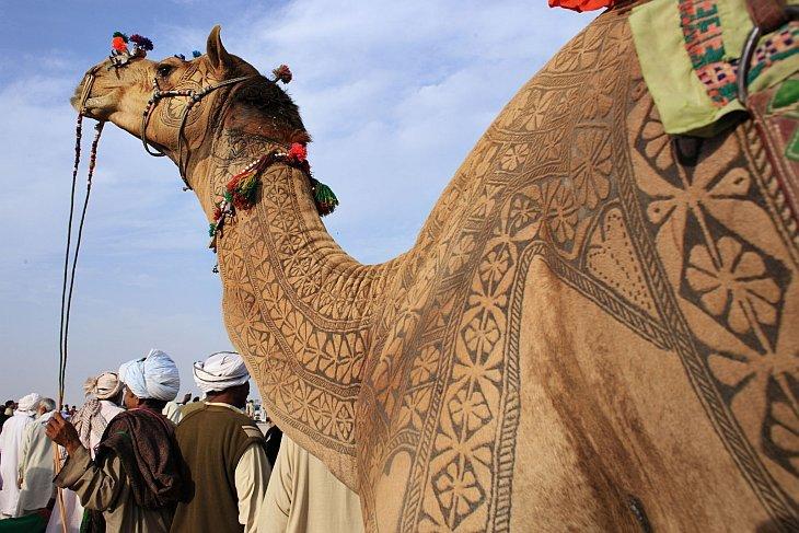 Верблюды на подиуме