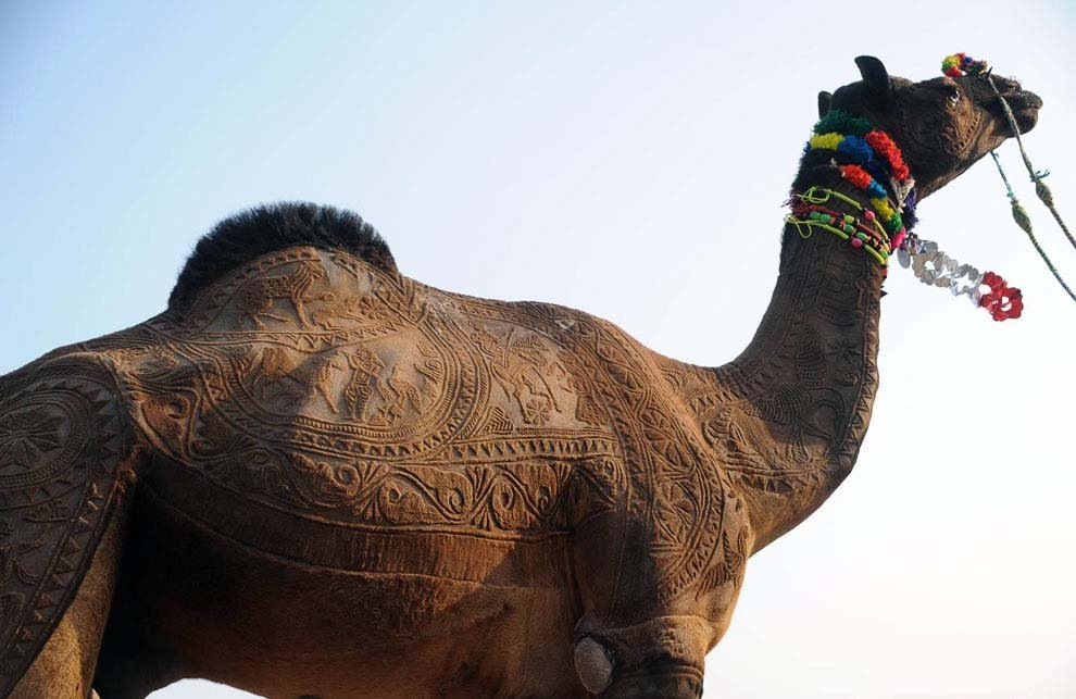 Верблюди на конкурсі краси