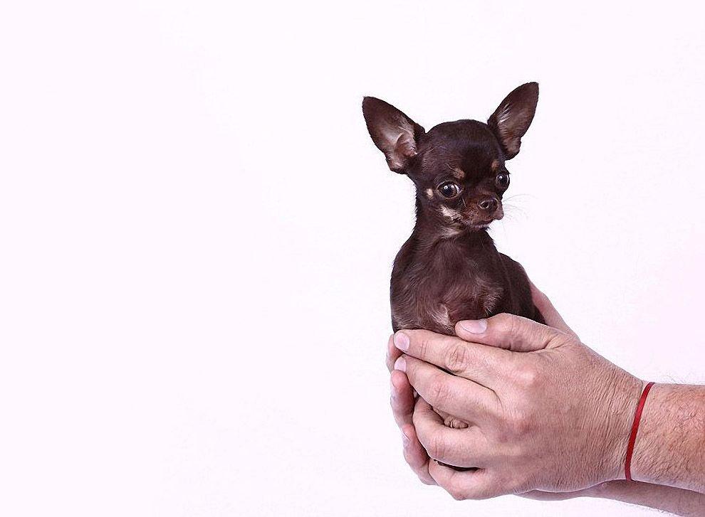 Найменша собачка