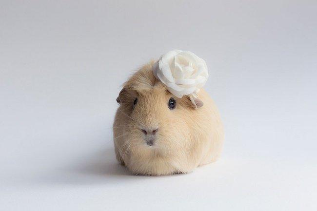 Найвідоміша морська свинка інтернету Бубу