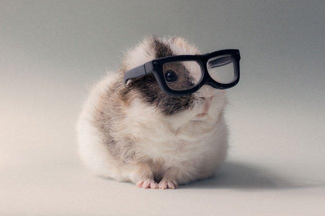Милые фотографии морской свинки Бубу
