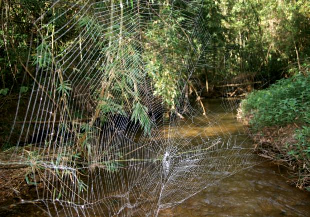 Мадагаскарский паук Caerostris darwini