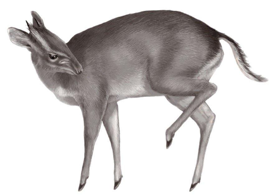 Антилопа-дукер Philantomba walteri