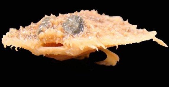 Рыба Halieutichthys intermedius
