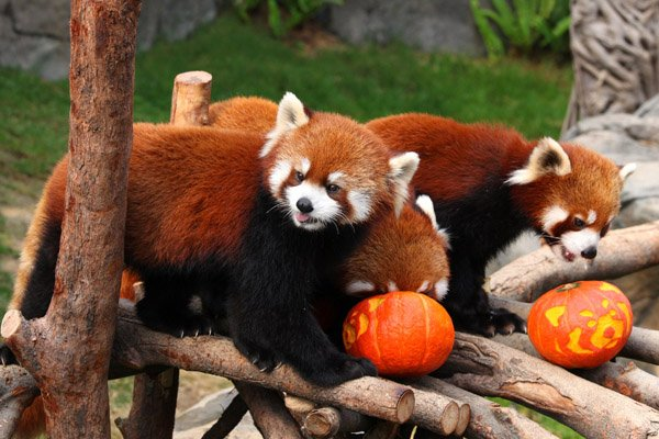 Красная панда Firefox