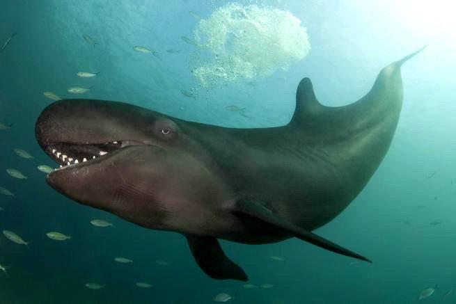 Улыбающийся кит-косатка по кличке Смайлик - фото 4