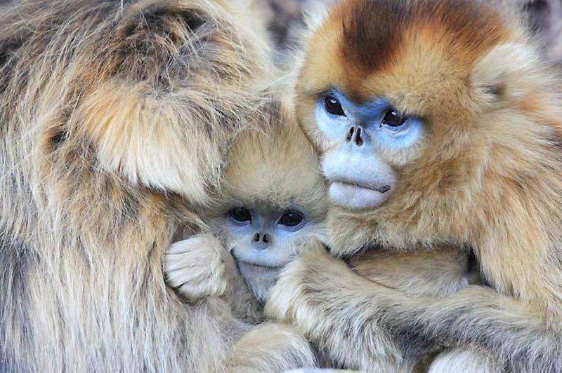 Снежные китайские обезьяны рокселлановые ринопитеки, фото 3