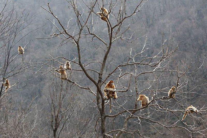 Снежные китайские обезьяны рокселлановые ринопитеки, фото 2
