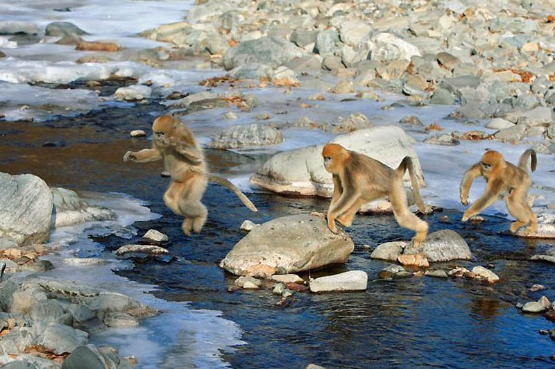 Снежные китайские обезьяны рокселлановые ринопитеки, фото 1