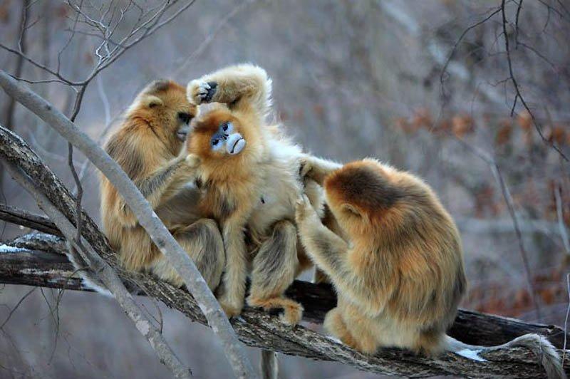 Снежные китайские обезьяны рокселлановые ринопитеки, фото 4