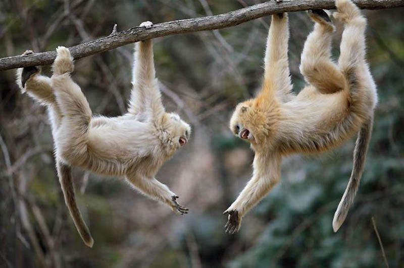 Снігові китайські мавпи рокселанові ринопітеки, фото 6