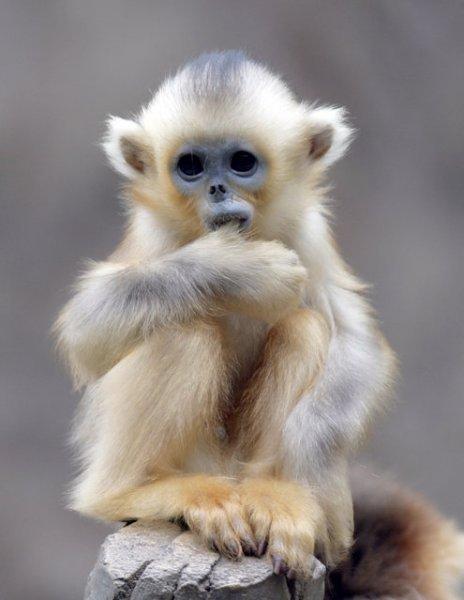 Снежные китайские обезьяны рокселлановые ринопитеки, фото 5