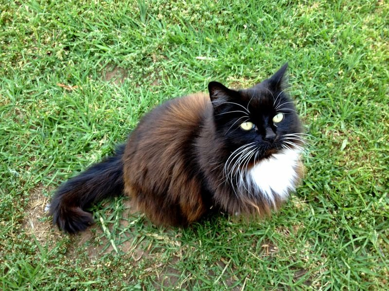 Кіт Томазіно