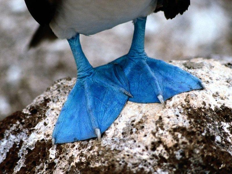 Голубоногая олуша