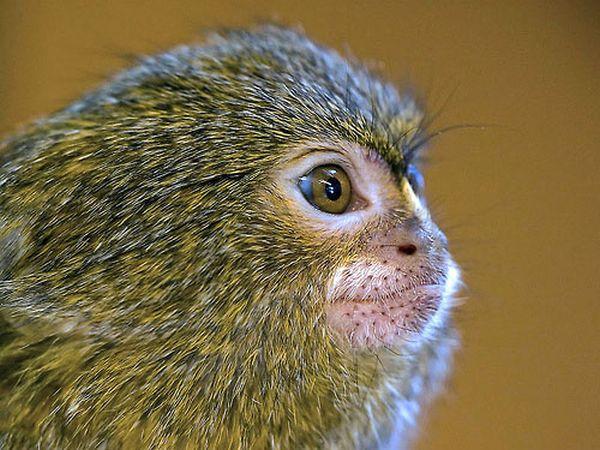 Карликовая игрунка - самая маленькая обезьянка