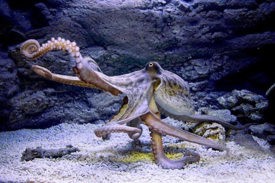 Восьминіг сімейства Octopodidae