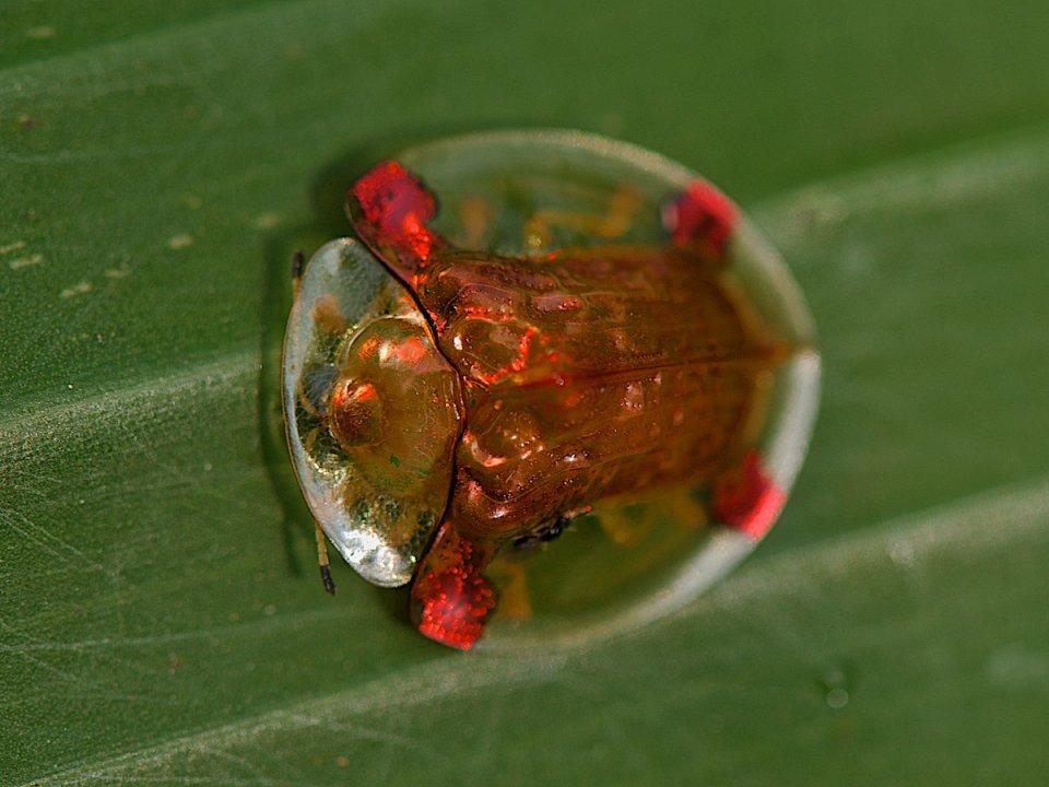 Золотий жук-черепаха