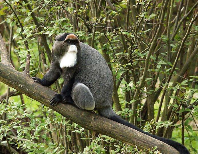 Болотистая обезьяна