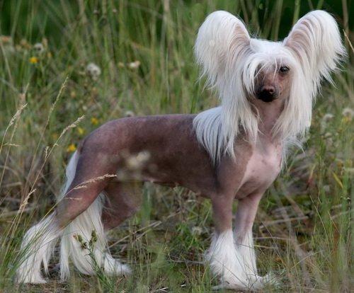 Дорогая экзотическая собачка. Китайская хохлатая бесшерстная собака