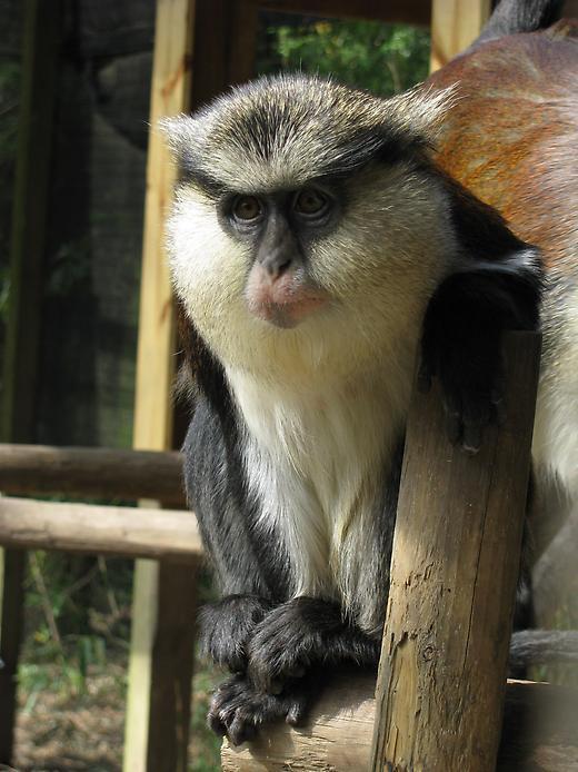 Мавпа Мона