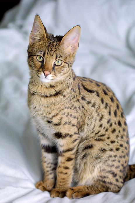Экзотическая кошка. Домашняя кошка Саванна